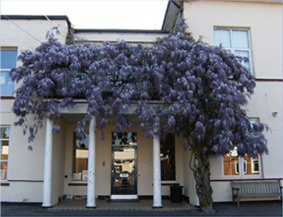 St. Mary's RC - building with wisteria tree